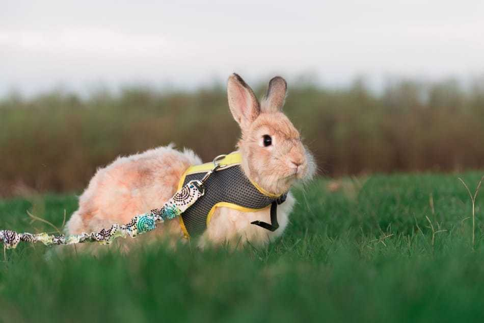 Rabbit wearing a harness and leash.