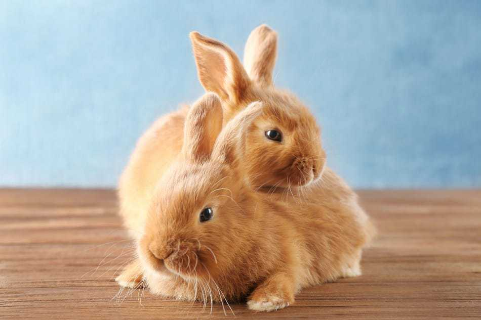 Two pet rabbit siblings together.