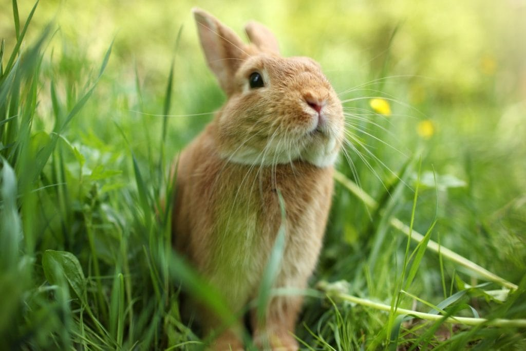 An adorable rabbit sniffing the air in a green field.