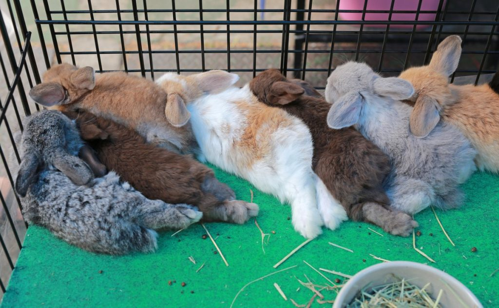 A long line of pet rabbits in a cage sleeping together.