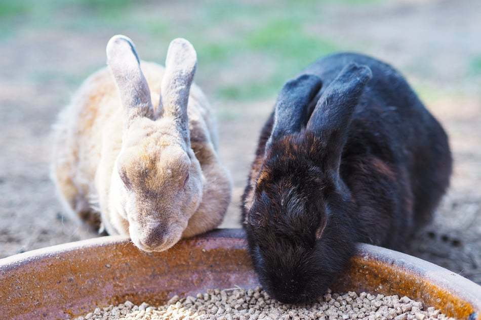 Two pet Mini Rex rabbits eating food together from a bowl.