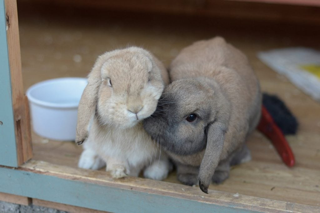 Two rabbits cuddling together.