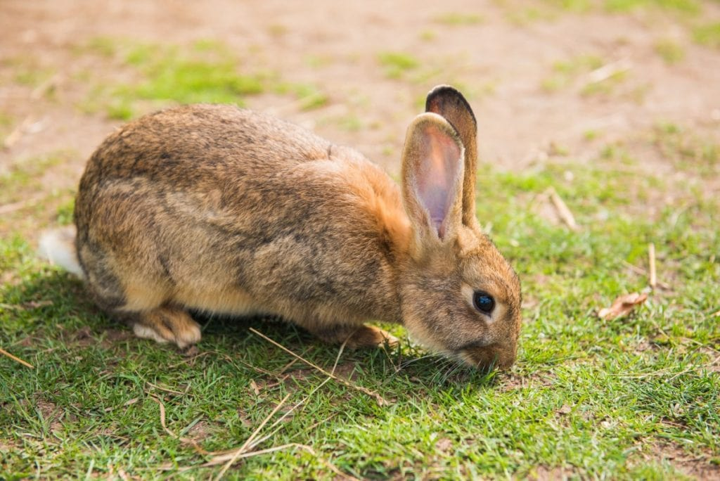 Wild rabbit foraging for food.